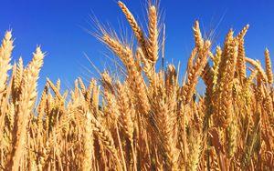 """Cia-Agricoltori: """"Ora si apra mercato sementi grano Cappelli"""""""